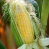 玉米须养生的功效 煮粥汤茶样样好
